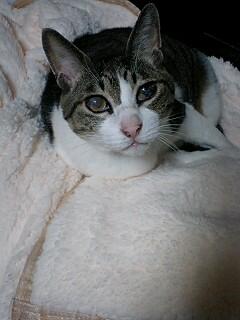 愛猫 ミースケ
