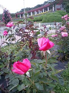 円形花壇 バラ園三態