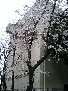 豊中一中の桜
