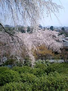 嵯峨野 桜三景