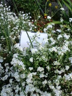 今日の一花 「ワスレナグサ」