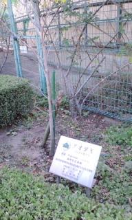 アイダモの木