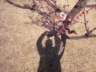 梅を撮る私