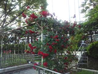 豊島公園 バラ園